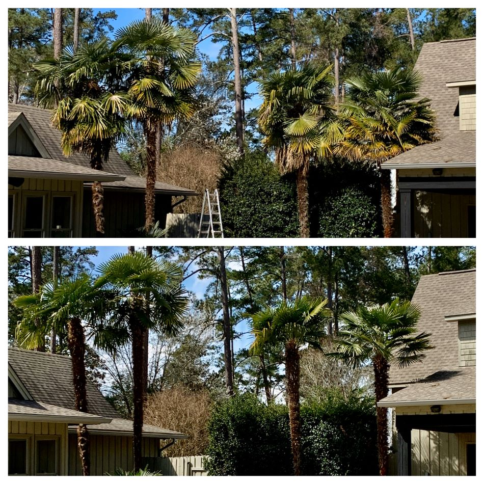 Palm Tree trimming in Evans, Ga