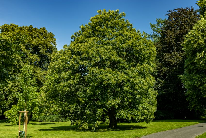 When is the Best Time to Trim an Oak Tree?