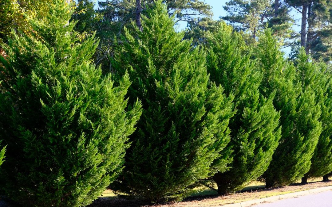Southern Trees – Caring for the Leyland Cypress